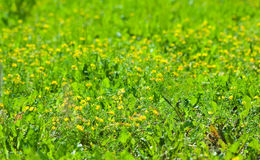 Green meadow grass flowers Stock Images
