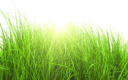 Green meadow grass in sunny day. On white fone Stock Images