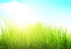 Green meadow grass in sunny day. On white fone Royalty Free Stock Photography