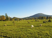 Green meadow with grazing cow cattle on pasture with autumn land. Scape in luzicke hory mountains Stock Photo
