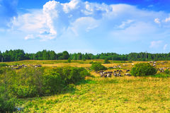 Green meadow and a herd of cows Royalty Free Stock Photos