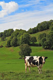Green meadow with grass and grazing cows Royalty Free Stock Photos