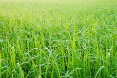 Green meadow with morning dew on the grass. Green meadow with morning dew on the grass Stock Image