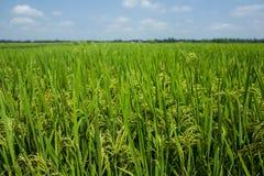 A green meadow near Hanoi, Vietnam. royalty free stock image