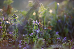 Green meadow with nettle flowers at sunset Royalty Free Stock Images