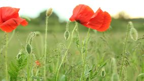 Poppie seed on the wind - Stock Footage Full HD with motorized slider. 1080p. Green meadow. Poppie seed on the wind - Stock Footage Full HD with motorized slider stock video footage