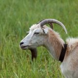 Green meadow and portrait of goat Stock Photo