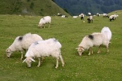 Green meadow with Pyrenees sheeps Royalty Free Stock Image