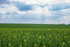 Green meadow. Rapeseed field in the sunshine stock photography