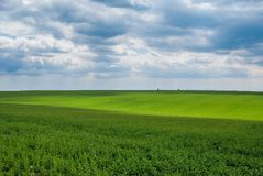 Green meadow. Rapeseed field in the sunshine Royalty Free Stock Photography