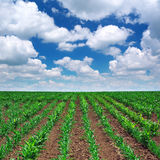 Green meadow of rows Royalty Free Stock Images