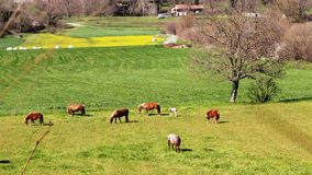 Green meadow with several horses stock video footage