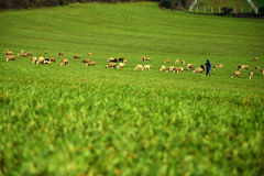 Green meadow and Sheep Grazing Stock Image
