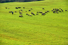 Green meadow and Sheep Grazing Royalty Free Stock Photos