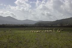 Green meadow with sheep herd royalty free stock image
