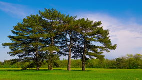 Green Meadow with Six Pines stock footage