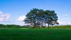 Green Meadow with Six Pines stock video