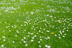 Green meadow. Green spring meadow, blooming daisies on the green grass Royalty Free Stock Photos
