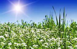 Green meadow and sun Stock Photography