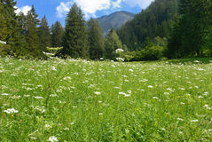 Green meadow in Valgardena. Summer green meadow in Valgardena , Italy Royalty Free Stock Photography