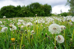 Green meadow with white dandelions Stock Images