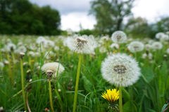 Green meadow with white dandelions Stock Photos