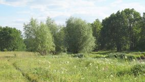 Green meadow with white flowers in front of forest stock video