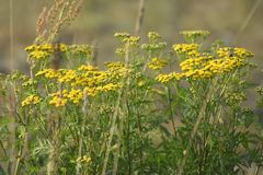 Green meadow width tansy plants. The rays of the sun brighten the meadow. royalty free stock photography