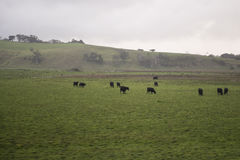 Free Green Meadow With Sheep Australia Stock Photography - 66998702