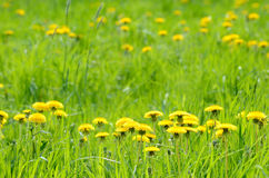 Green meadow with yellow dandelions Royalty Free Stock Images