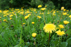 Green meadow with yellow dandelions Royalty Free Stock Photos