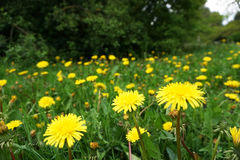 Green meadow with yellow dandelions. Stock Photos