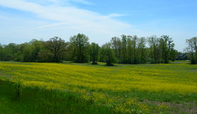 Green meadow with yellow flowers Royalty Free Stock Images