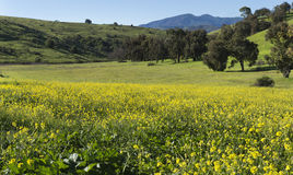 Green meadow with yellow mustard flowers Stock Images