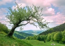 Green meadows and big green tree in Carpathian mounts. Gorgany, Ukraine stock photos