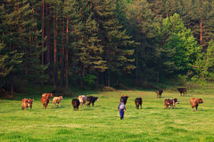 Green meadows and cows Royalty Free Stock Photography