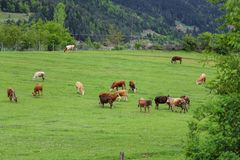Green meadows , horses, cows, sheep Stock Images