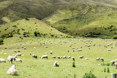 Green meadows with sheep grazing in a beautiful area of Queenstown, New Zealand Royalty Free Stock Photos