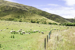 Green meadows with sheep grazing in a beautiful area of Queenstown, New Zealand Royalty Free Stock Images