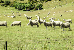 Green meadows with sheep grazing in a beautiful area of Queenstown, New Zealand Royalty Free Stock Photo