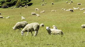 Green meadows with sheep grazing in a beautiful area of Queenstown, New Zealand Stock Photography
