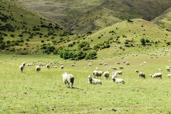 Green meadows with sheep grazing in a beautiful area of Queenstown, New Zealand Stock Photos