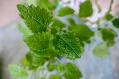 Green melisa plant leaf detail. A fresh green melisa plant leaf detail Royalty Free Stock Images