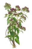 Green melissa herb Royalty Free Stock Photo