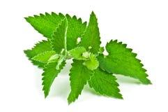 Green melissa. On white background royalty free stock photo