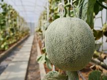 The green melon in the farm. The green melon in the Thailand farm ready for harvest royalty free stock image