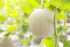 Green melons or cantaloupe melons plants growing in greenhouse. Green melons or cantaloupe melons plants growing in greenhouse for health food and agriculture stock image