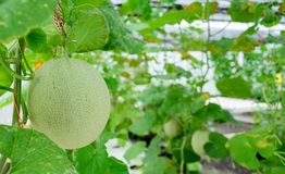 Green melons in organic farming greenhouse. Green melons with hydroponic in organic farming greenhouse Royalty Free Stock Photos