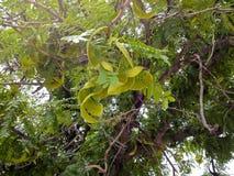 Green Mesquite Legumes Stock Photos