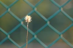 Close up a single white wild grass flower blossom with warm light. Green metal fence background stock photo